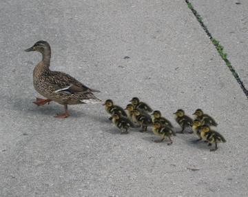 Duckies_concrete