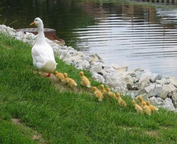 Duckies_grass